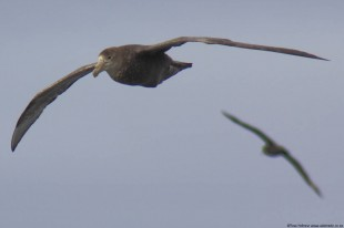 Giant Petrel on the wing, shot somewhere in the Southern Ocean