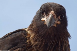 Caracara wondering if I am available for lunch