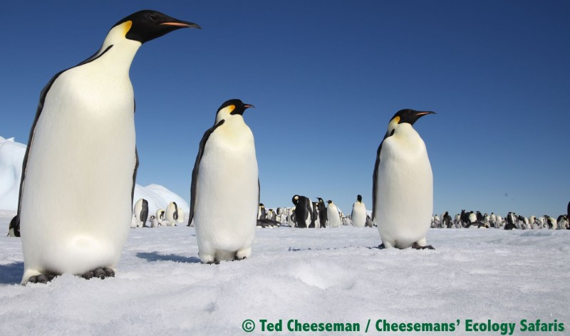Emperor Penguins at Snow Hill Island.  (Photo: Ted Cheeseman/Cheeseman Ecology Safaris)