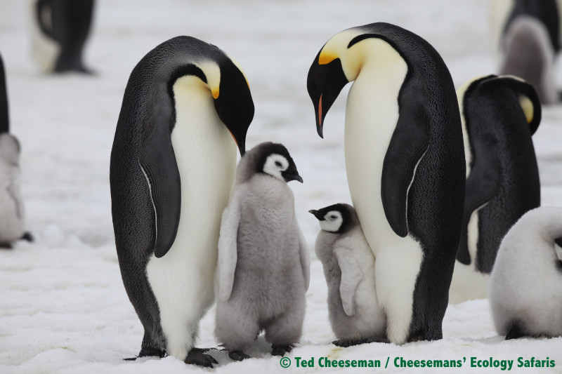 Emperor Penguins with chicks in the wild.  (Photo: Ted Cheeseman/Cheeseman Ecology Safaris)